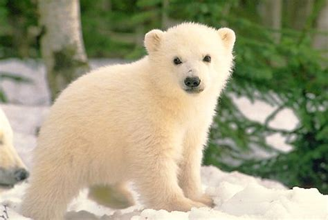 Imágenes del mundo animal: Oso polar