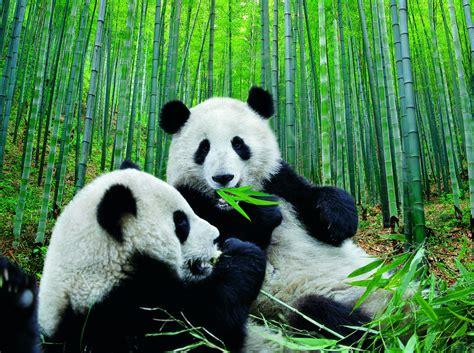 Imagenes osos panda: Hermosa fotografia de osos panda [20 ...
