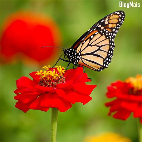 Imagens Bonitas – Danaus plexippus em flores – gosto de ...