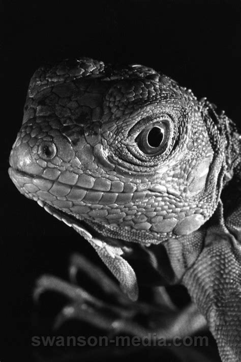 Images by Swanson Media: Lizards | 1 of 17 | Portrait of ...