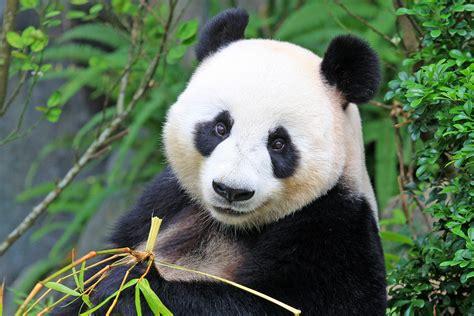 Images Of Panda Bears | www.imgkid.com   The Image Kid Has It!