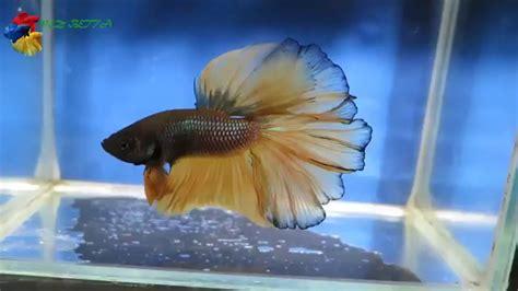 Importancia de plantas para pez betta   YouTube