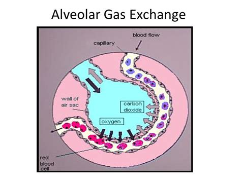 In the Alveoli Gas Exchange   Bing images