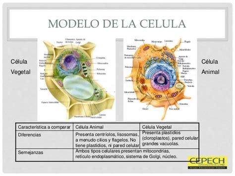 Informacion de celula vegetal y celula animal   Imagui
