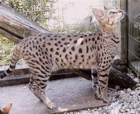 Información sobre el gato Ashera | Informacion sobre animales