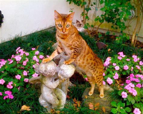 Información sobre el gato Asiático Humo Atigrado ...
