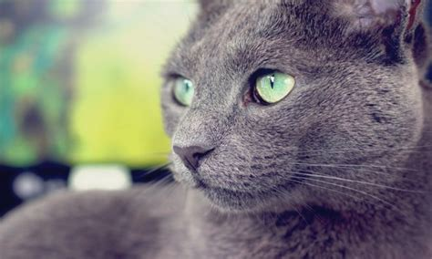 Información sobre el gato azul ruso | Informacion sobre ...