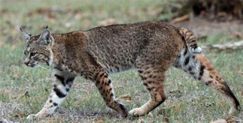 Información sobre el gato montes | Informacion sobre animales