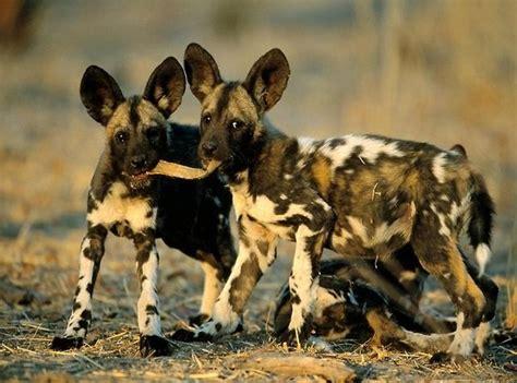 Información sobre el perro salvaje africano | Informacion ...