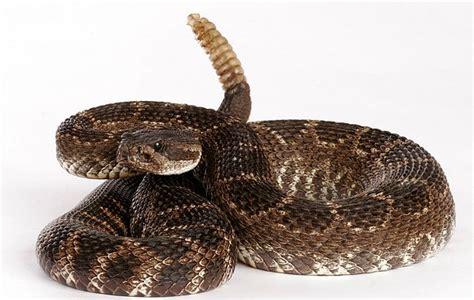 Información sobre la serpiente de cascabel | Informacion ...