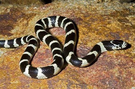 Información sobre la serpiente rey de California ...