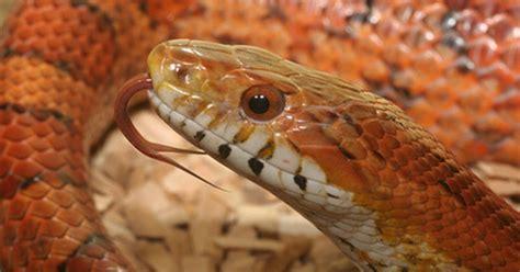 Información sobre serpientes negras y rojas | Tips ...