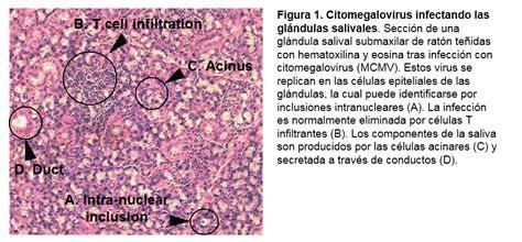 Inmunidad en las glándulas salivales | Inmunología en un ...