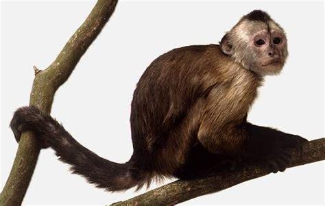 Inteligencia del mono