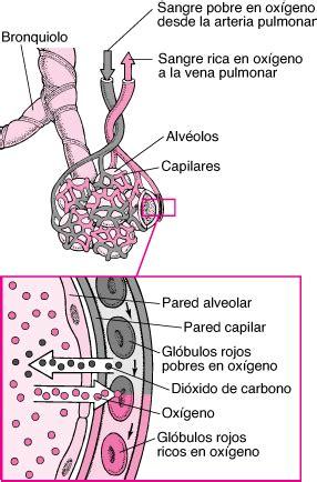 Intercambio de oxígeno y dióxido de carbono - Trastornos ...