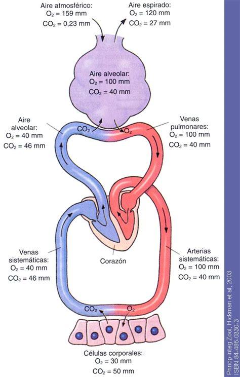 ¿Intercambio gaseoso en pulmones y tejidos? | Yahoo Respuestas