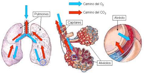 Intercambio Gaseoso Pulmonar