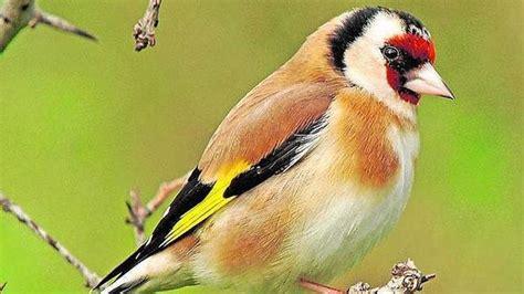 Intervienen en Cataluña 915 pájaros capturados por ...