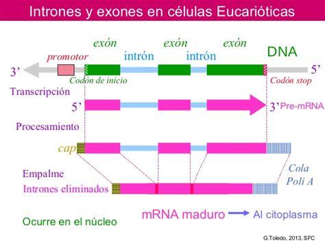 Intrones exones en células eucariotas