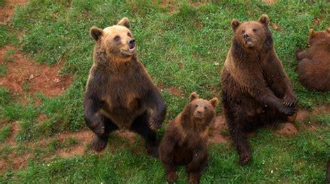 Investigan la posible fuga de un oso del parque de ...