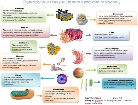 itzayani-fisiologiabasica: Organelos celulares y su funcion