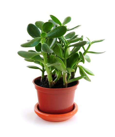 Jade Plants: How to Plant, Grow, and Care for Jade Plants ...