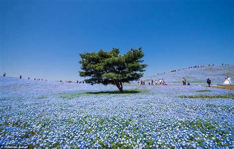 Japan's Hitachi Seaside Park pictured in stunning photos ...