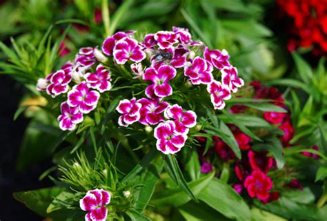 Jardinería Fácil »Dianthus barbatus, clavel del poeta o ...