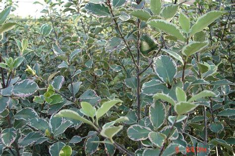 Jardines » arbustos ornamentales