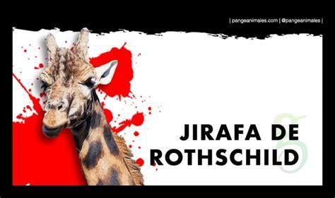Jirafa de Rothschild: Características, Qué come, Hábitat ...
