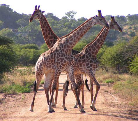 Kaapse giraffe - Wikipedia