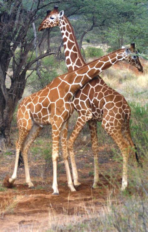 Kenia, África.  Las jirafas  | Mundo Exótico