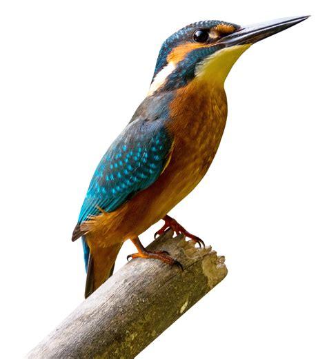 Kingfisher Bird PNG Transparent Image - PngPix