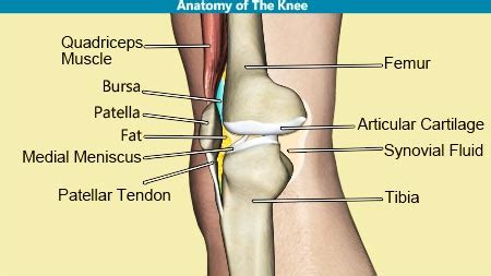 Knee Joint Anatomy Bones Cartilages Muscles Ligaments ...