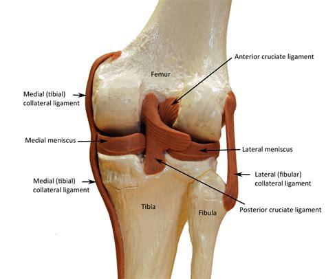 Knee Joint Diagram Labeled   www.pixshark.com   Images ...