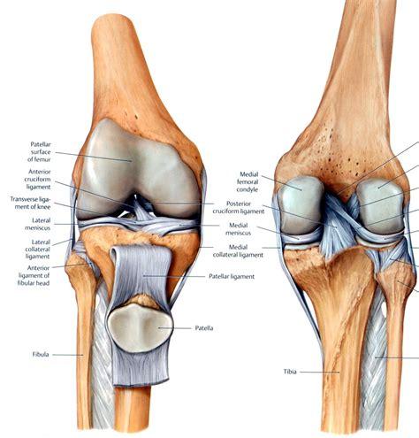 knee ligament anatomy | Anatomy | Pinterest | Knee ...