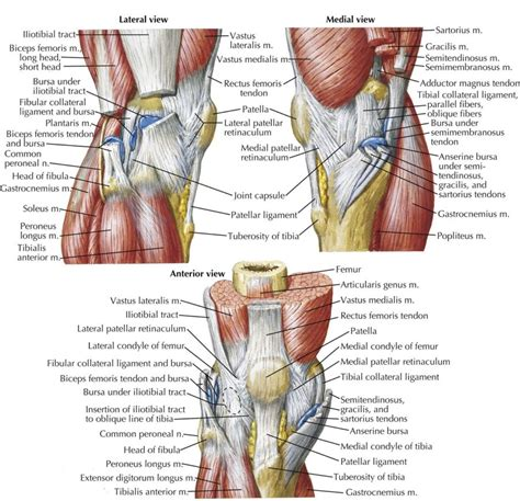 Knee Ligament Diagrams to Print | Diagram Site