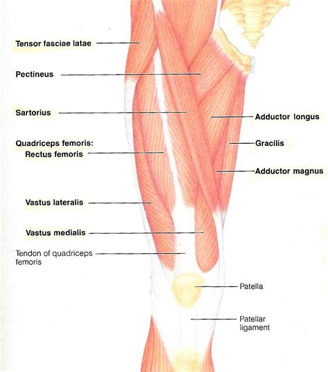 Knee Structure Diagram, Knee, Free Engine Image For User ...