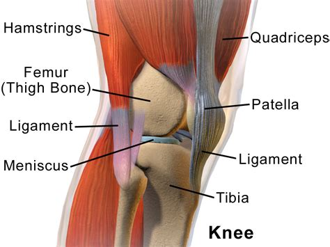 Knee - Wikipedia