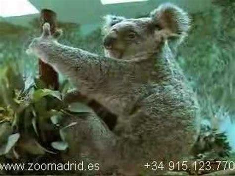 Koala bebé en el Zoo Aquarium de Madrid   YouTube