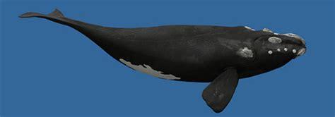 La ballena de Groenlandia | Informacion sobre animales