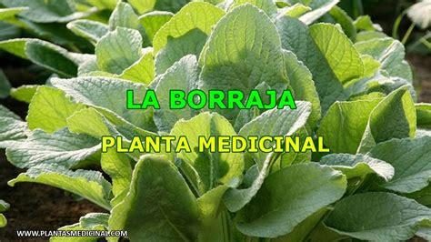 La Borraja - Planta Medicinal - YouTube