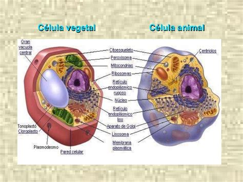 La celula animal maqueta - Imagui