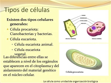 La célula como unidad de organización biológica   ppt ...