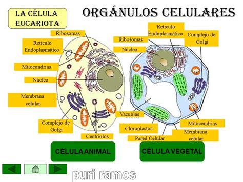 LA CÉLULA EUCARIOTA Observación a microscopía electrónica ...