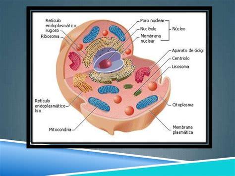 La celula eucariota y procariota (1)