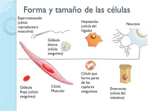 La célula Formas y tamaños. - ppt download