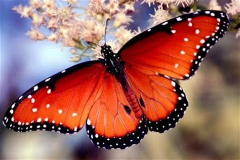 La Chachipedia: Las mariposas
