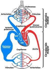 La Circulación | Ciencias Naturales