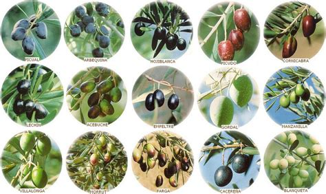 La composición del aceite de oliva en función de las ...